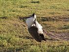 Pták ješita - Ngorongoro 2