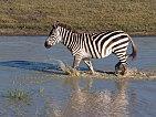Zebra - Ngorongoro