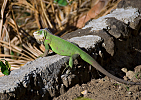 Dominica-Leguán zelený